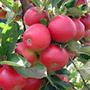 Соседи и предшественники яблони