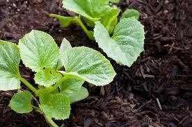 Как выращивать огурцы без химии: огуречное растение