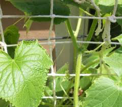 Как выращивать огурцы без химикатов: подкормка и полив