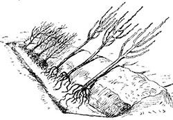 Правильная прикопка саженцев: растения в канавке