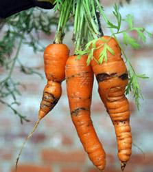 Как бороться с вредителями моркови