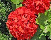 Цветы от вредителей: герань