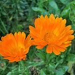 Цветы против вредителей: красота с пользой