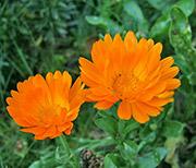 Цветы от вредителей: календула