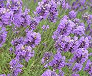 Цветы от вредителей: лаванда