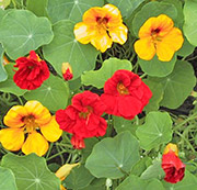 Цветы от вредителей: настурция