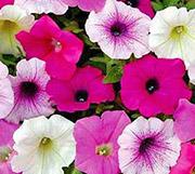 Цветы от вредителей: петуния