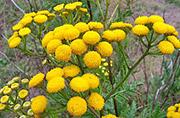 Цветы от вредителей: пижма