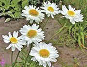 Цветы от вредителей: бархатцы