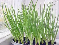 Технология выгонки зеленого лука дома