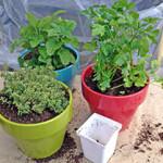 Выгонка петрушки, сельдерея и другой зелени в домашних условиях