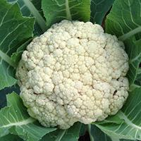 Уборка урожая цветной капусты