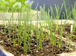 Как выгнать зелень из многолетних луков