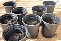 Как вырастить базилик в горшке
