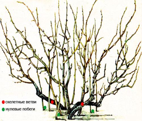 Скелетные ветви и нулевые побеги смородины