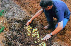 Картошка под мульчой