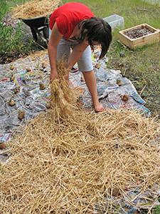 Как вырастить картошку под соломой