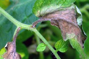 Средства и методы борьбы с фитофторозом