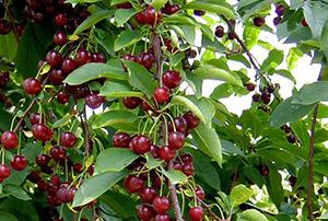 Не плодоносит вишня - мульчируй