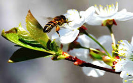 Не плодоносит вишня - привлекай пчел