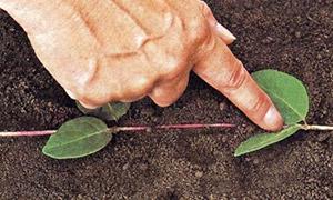 Вегетативное размножение жимолости