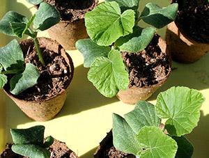 Метод выращивания тыквы в бочке