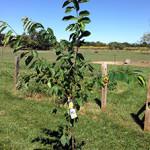 Посадка саженцев плодовых деревьев: канавки и холмики