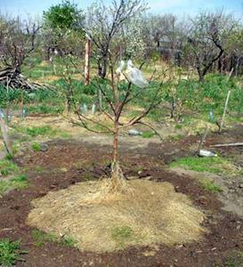 Посадка плодовых деревьев с мульчой