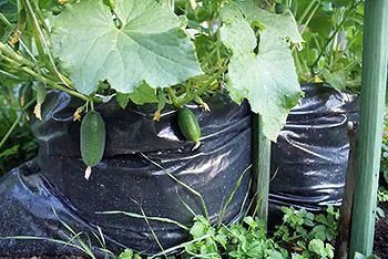 Способ выращивания огурцов: в пакете