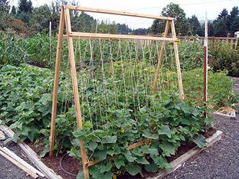 Способ выращивания огурцов: на шпалере