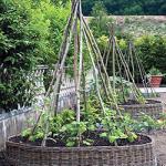 выращивание огурцов на шпалере, в шатре, в бочке