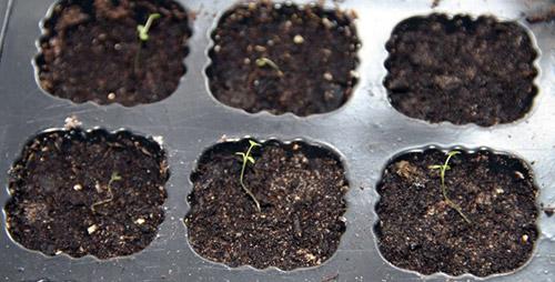 Выращивание рассады земляники: первые всходы