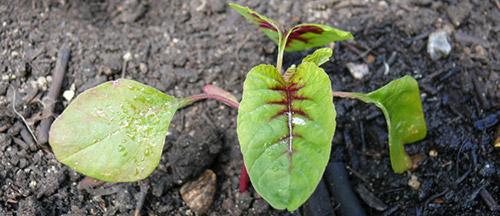 Выращивание амаранта: посев
