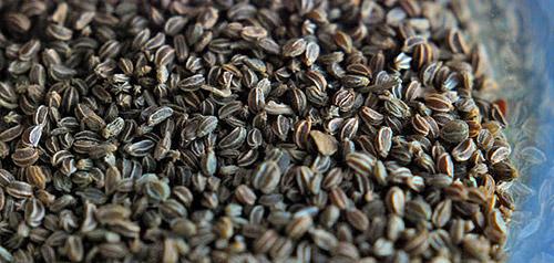 Выращивание сельдерея: подготовка семян