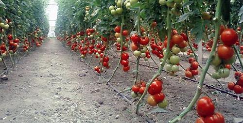 Что такое индетерминантные сорта томатов