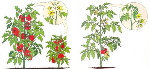 В чем разница между индетерминантными и детерминантными томатами