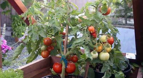 Что такое детерминантные сорта томатов