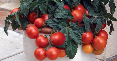 Высокорослые и низкорослые томаты - какие лучше?