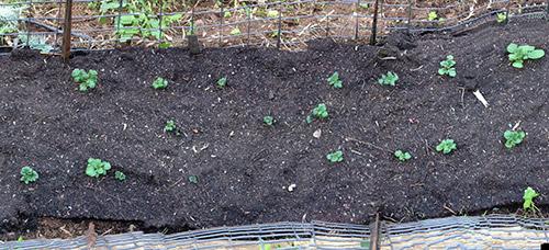 Как вырастить картофель из семян - Дачные советы