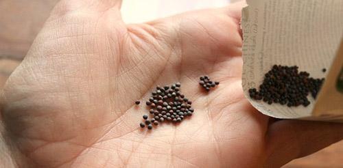 Предпосевная подготовка семян капусты