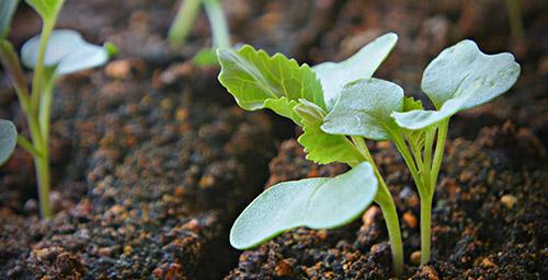 Пикировка рассады и высадка саженцев капусты в грунт