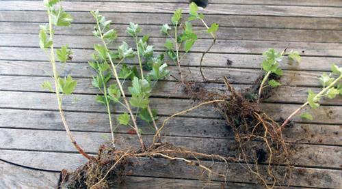 Выращивание крыжовника на органике