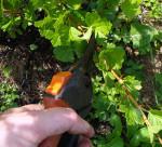 Обрезка крыжовника: как правильно формировать куст