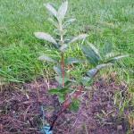 Выращивание жимолости: посадка, подкормки, уход