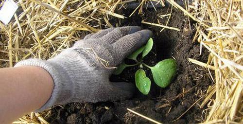 Как вырастить баклажаны: семь секретов хорошего урожая - Дачные