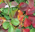 Обрезка клубники осенью и подготовка к зиме