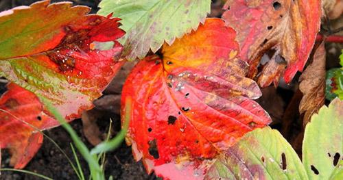 Осенние работы с клубникой