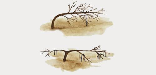 Формирование плодовых деревьев гнутьем