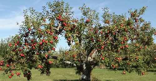 Формирование плодовых деревьев без обрезки