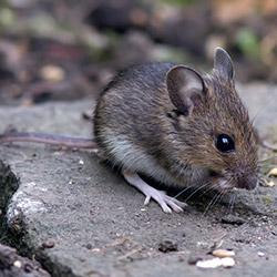 Березовый деготь от мышей